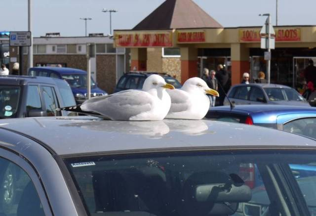 Basking gulls