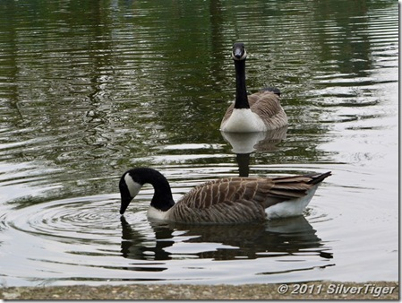 (did I mention Canada geese?)