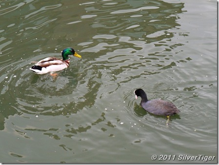 A duck and a coot come for seeds