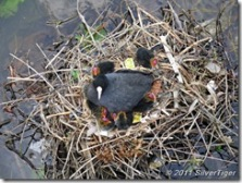 Coots' nest with chicks